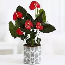 Jenis tanaman hias indoor penyejuk ruangan