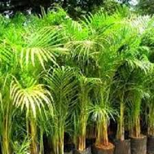 jenis tanaman pembersih udara